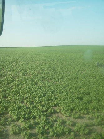 Pinto Beans Growing